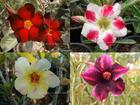 4 Adenium Obesum Plants SET no.3  + shipping