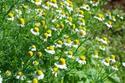 ดอกไม้เทศและดอกไม้ไทยต้น 77.คาโมมายล์