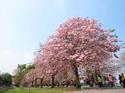 ดอกไม้เทศและดอกไม้ไทยต้น 31.ชมพูพันธุ์ทิพย์