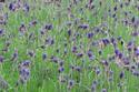 ดอกไม้เทศและดอกไม้ไทย  ต้น79.ลาเวนเดอร์
