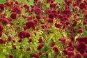 ดอกไม้เทศดอกไม้ไทย  ต้น 62.หงอนไก่ฝรั่ง