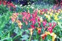 ดอกไม้เทศและดอกไม้ไทย  ต้น 74.คาลล่า ลิลี่