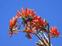 ดอกไม้เทศและดอกไม้ไทยต้น 18.ทองหลางป่า