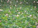 ดอกไม้เทศและดอกไม้ไทย  ต้น 117.บัวหลวง
