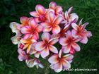 """Plumeria """"LAI NAM TAN"""" grafted plant"""