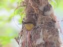 นกกินปลีอกเหลือง ใครทำให้เขาชอกช้ำระกำใจ  โดยธงชัย เปาอินทร์ เรื่อง-ภาพ