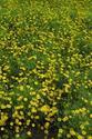 ดอกไม้เทศและดอกไม้ไทย  86.ดาห์ลเบิร์กเดซี่