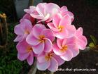 "Compact Plumeria ""PRETTY IN PINK"" grafted plant"