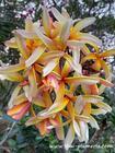 "Plumeria ""SOM PRAKAI RUNG"" grafted plant"