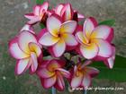 "Plumeria ""DANAI DELIGHT"" grafted plant"