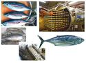 รัฐเอกชนจับมือ พัฒนาผลิตภัณฑ์ปลาโอดำไทย