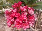 """Plumeria """"PUANG-ROI"""" grafted plant"""
