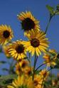 ดอกไม้เทศและดอกไม้ไทยต้นที่ 8 ทานตะวัน