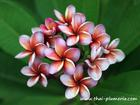 "Plumeria ""KRIT'S VIOLET"" grafted plant"