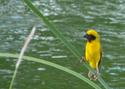 นกกระจาบทอง กลับมาทำรังอีกแล้ว    โดยธงชัย เปาอินทร์ thongchai_paoin@hotmail.com