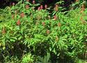ดอกไม้เทศและดอกไม้ไทยต้น 64. เอื้องหมายนา
