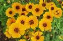ดอกไม้เทศและดอกไม้ไทย  ต้น84.ดอกตาเสือ