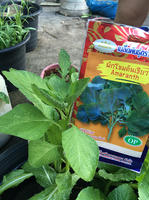 มาดูผักที่ผมปลูกเองโดยเมล็ดที่ผมขาย ตอนสวนหลังบ้านคนขายเมล็ดผัก