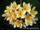 "Plumeria ""SIRIMONGKOL"" grafted plant"