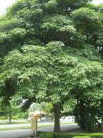 ต้นไม้ประจำจังหวัดภาคกลางและภาคตะวันออกเฉียงใต้