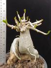 Adenium Arabicum Hybrid Plant no.4