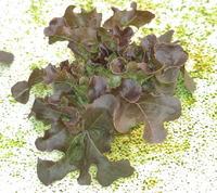 การใช้จุรินทรีย์ กับพืชไร้ดิน Hydropronics