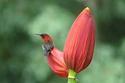 นกกินปลีคอแดง