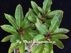 "Dwarf Plumeria ""RED COCONUT LEAF"" grafted plant"