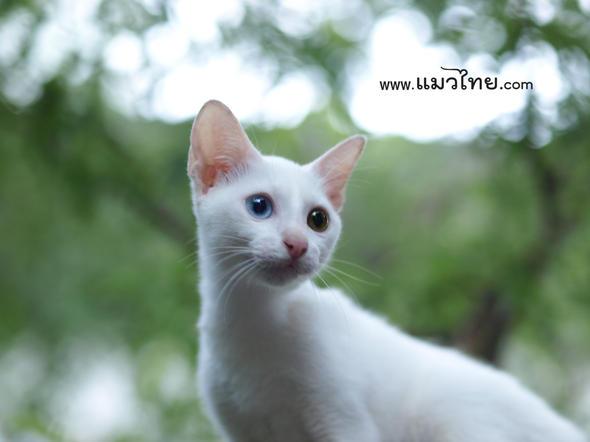 ลูกแมวขาวมณี ตา 2 สี
