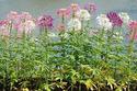 ดอกไม้เทศและดอกไม้ไทย  ต้น 115.ผักเสี้ยนฝรั่ง