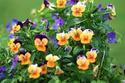 ดอกไม้เทศและดอกไม้ไทย  ต้น 59.ไวโอล่า