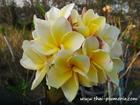 "Plumeria ""MOONLIGHT"" grafted plant"