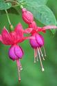 ดอกไม้เทศและดอกไม้ไทย  ต้น114.ฟุกเซีย