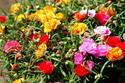 ดอกไม้เทศและดอกไม้ไทย  ต้น111.แพรเซี่ยงไฮ้