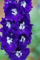 ดอกไม้เทศและดอกไม้ไทย  ต้น 91.เดลฟิเนียม