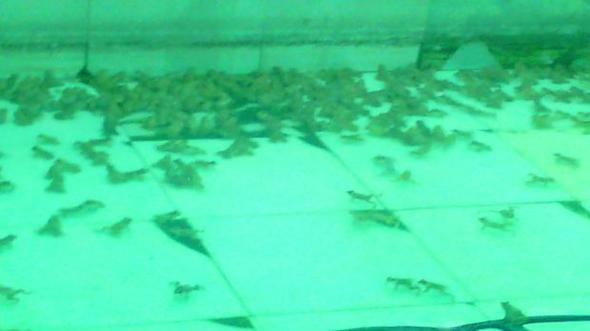 ขายลูกกบ ขายลูกปลาดุก 0863146057 เกรียงไกร 0890852