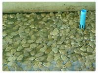 ลูกกบ พันธุ์กบ กบ ขายกบ ลูกกบ รวมสายพันธุ์กบ ขายลูกกบ ขายลูกปลาดุก 0863146057 เกรียงไกร 0890852945 คุณเดือน