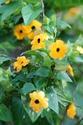 ดอกไม้เทศและดอกไม้ไทย  ต้น90.ทันเบอร์เกีย