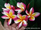 "Plumeria ""SANG ARUN"" grafted plant"