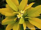 "Variegated Plumeria ""SIAM GOLD"" grafted plant"