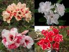 4 Adenium Obesum Plants SET no.4  + shipping