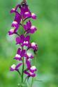ดอกไม้เทศและดอกไม้ไทย  ต้น 44.ลินาเรีย