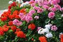 ดอกไม้เทศและดอกไม้ไทยต้นที่ 32.เจอราเนียม