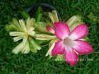 "Variegated Adenium Obesum (Desert Rose) ""CRYSTAL"" Grafted Plant"