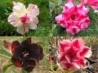 4 Adenium Obesum Plants SET no.8 + shipping