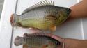 ปลาหมอ �ชุมพร 1� ทางเลือกสู้อากาศวิปริต