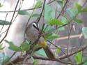 นกปรอดหน้านวล นกประจำถิ่น โดยธงชัย เปาอินทร์ เรื่อง-ภาพ