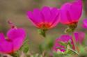 ดอกไม้เทศละดอกไม้ไทย  ต้น 75.คุณนายตื่นสาย