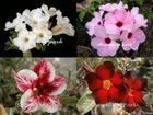 4 Adenium Obesum Plants SET no.9 + shipping
