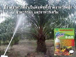 รูปต้นปาล์มและยางพาราหลังจากใช้สารสกัดอินทรีย์น้ำ สูตรซุปเปอร์อะมิโนโปรตีน